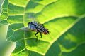 House fly on leaf Royalty Free Stock Photos