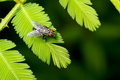 House fly in mimosa Royalty Free Stock Photos