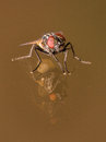 House Fly With Orange Eyes and Double Glass Reflection Royalty Free Stock Photo