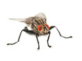 House fly on white Stock Photos