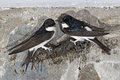 House martin delichon urbica two birds on nest being built wales july Royalty Free Stock Photo