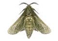 House Moth