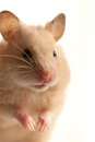House mouse Royalty Free Stock Photos