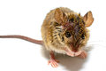 House mouse Mus musculus on white background Royalty Free Stock Photo