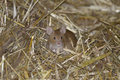 House mouse, musculus domesticus Stock Photos