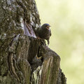 House for nestling starling and his hungry in a hollow Stock Images