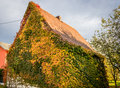 House old hidden in colorful autumn ivy Stock Photo