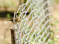House sparrow closeup on a fence Royalty Free Stock Photography