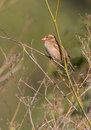House Sparrow on dry grass Royalty Free Stock Photo