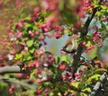 House sparrow in a flowering crabapple tree Stock Photo