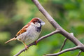 House sparrow holding a piece of fluff in its beak passer domesticus Stock Image