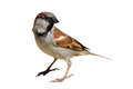 House Sparrow - Passer domesticus Royalty Free Stock Photo