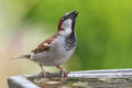 House sparrow passer domesticus male drinking at a bird bath Royalty Free Stock Photo