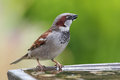House sparrow passer domesticus male drinking at a bird bath Stock Photography