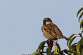 House sparrow passer domesticus male sitting on a twig in the garden Stock Photo