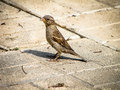 House sparrow passer domesticus is the most common kind of these sparrows lat passer passerines passeridae this is Stock Photography