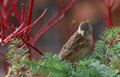House sparrow passer domesticus winter plumage resting Stock Photos