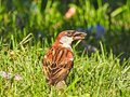 House Sparrow Sits in Grass with Sunflower Seed in Mouth with Sun Shining Royalty Free Stock Photo