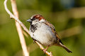 House sparrow sitting on a branch Royalty Free Stock Photos