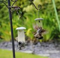 House Sparrow Squabbling Over ...