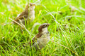 House sparrows or Passer domesticus Royalty Free Stock Photo