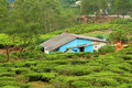House in tea plantation green Stock Image
