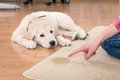 House training of guilty puppy golden retriever looking from his punishment Stock Image