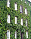 House wall a covered with ivy Royalty Free Stock Photos