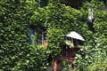 House wall overgrown with wild grapes in basel switzerland Stock Photography