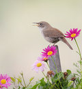 House Wren Stock Photos