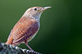 House wren agaist dark green background Royalty Free Stock Photography
