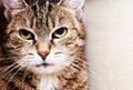 Housecat Portrait Royalty Free Stock Photo
