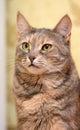 Housecat Royalty Free Stock Photo