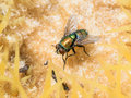 Housefly on cactus a sitting amongst the thorns of a Royalty Free Stock Photo