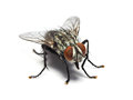 Housefly isolated on white background. Royalty Free Stock Photo