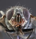Housefly macro musca domestica low scale magnification Royalty Free Stock Photography