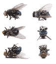 Housefly, Musca domestica Stock Photos