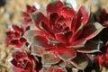 Houseleek (sempervivum tectorum) Royalty Free Stock Images