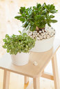 Houseplant Crassula ovata jade plant money tree and fittonia in Royalty Free Stock Photo