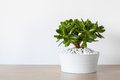 Houseplant Crassula ovata jade plant money tree in white pot Royalty Free Stock Photo