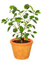 Houseplant tangerine tree Stock Photography