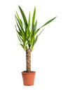 Houseplant Yucca A potted plant isolated on white background Royalty Free Stock Photo