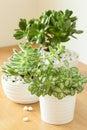 houseplants fittonia albivenis, crassula ovata, echeveria in white pots Royalty Free Stock Photo