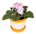Houseplants violet ceramic flower pot white background Stock Photos