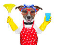Housewife dog with rubber gloves and a feather duster Royalty Free Stock Image