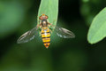 Hover fly Stock Image