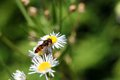 Hover-fly Stock Photos