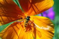Hover fly on a blossom Royalty Free Stock Photo