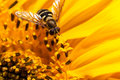 Hover Fly Close Up Royalty Free Stock Photo