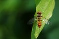 Hover fly on green leaf top view of the staying the plant Stock Image